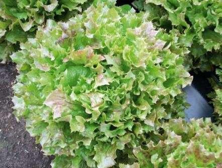 Каньон. Среднеспелый сорт с волнистыми и разрезанными листьями. Салат устойчивый к болезням.