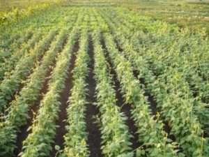 Кустовая — компактные низкорослые кустики — 40-60 см.