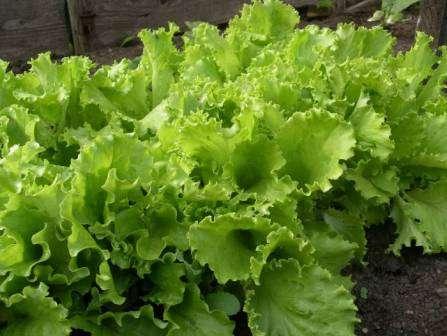 Кудрявец Одесский. Отличный сорт салата, известный многим дачникам. Хорошо противостоит цветушности.