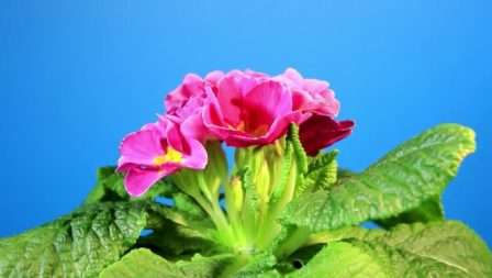 Комнатная примула эффективно вбирает влагу с окружающего воздуха, что способствует сочности листьев и красоте цветов.