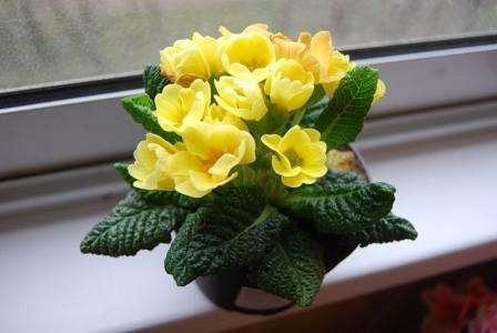 Если в вашем доме появился цветущий первоцвет, вы должны знать, что яркие цветы будут долго радовать глаз только при условии размещения в прохладной комнате.