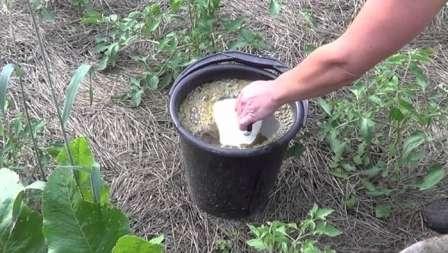 Огородники, имеющие доступ к куриному или голубиному помету, обычно не пренебрегают возможностью использовать этот материал для подкормки рассады.