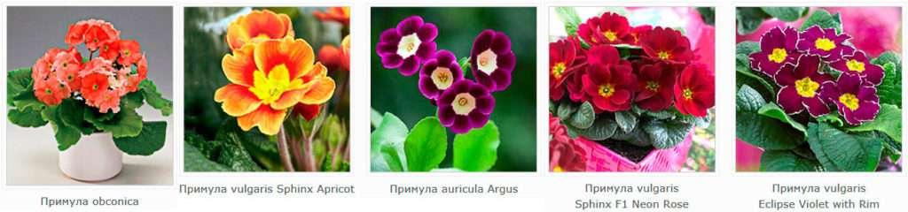 В конце зимы в цветочных магазинах появляются прекрасные примулы, или первоцветы.