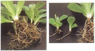 Готовые розетки с хорошо развитыми корнями рассаживают по отдельным емкостям.