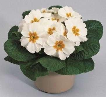 Осенью и весной (после окончания цветения) комнатную примулу лучше содержать при температуре от 12 до 20 °С.