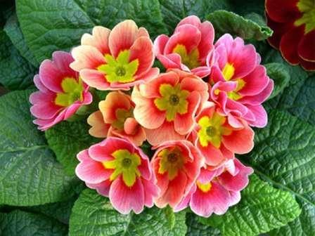 Если позволить растению чувствовать себя комфортно, оно будет радовать красивым и продолжительным цветением.