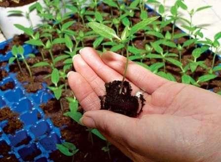 Чтобы корневая система развивалась правильно, необходимо вовремя переместить растение в более просторный контейнер.