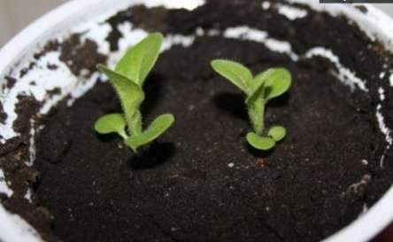Это касается состава грунта, подготовки семян и тары, создания условий для прорастания, осуществления пикировки, полива и подкормок.