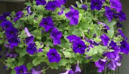 В жаркое и сухое лето особенно хорошо проявят себя петунии с крупными цветами.