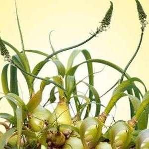 Натирание листьями птицемлечника висков, затылка и переносицы помогает избавиться от головной боли и симптомов простуды.