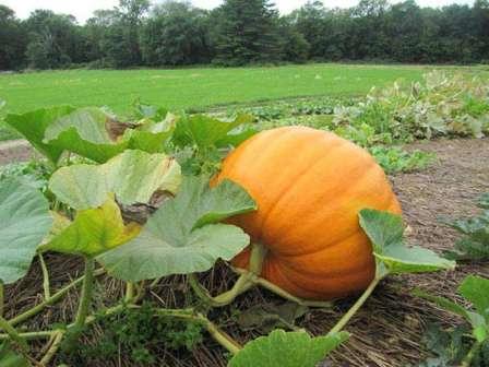 Благоприятными для роста тыквы являются теплая температура и достаточное количество влаги. Идеальная температура для правильного развития — 28°С.