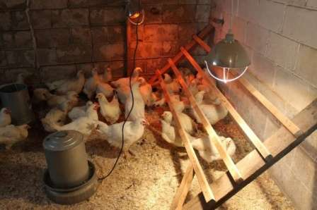 Чтобы птица хорошо неслась зимой, необходима не только комфортная температура, но и качественное освещение.
