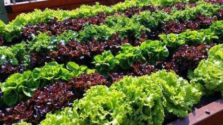 Грядки с зеленью прекрасно растут в затененных местах огорода и при этом являются прекрасным украшением для него.