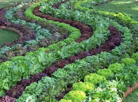Сочетая сорта салата с разной расцветкой, размером и формой листьев в одной грядке, можно создать поистине чарующую композицию.