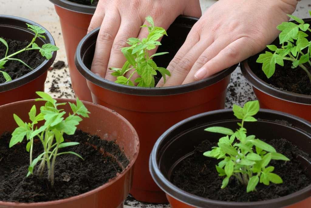 чем подкормить рассаду помидор чтобы потолстела