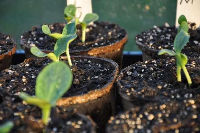 тыквы вырастить урал