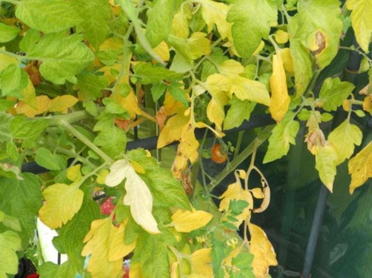 чем подкормить помидоры рассаду дома