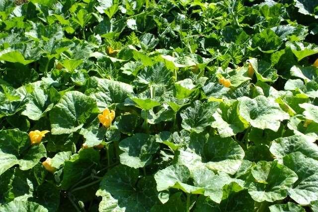 выращиваем тыквы открытом грунте урале