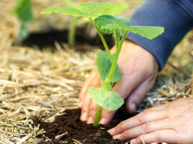 как лучше вырастить тыкву