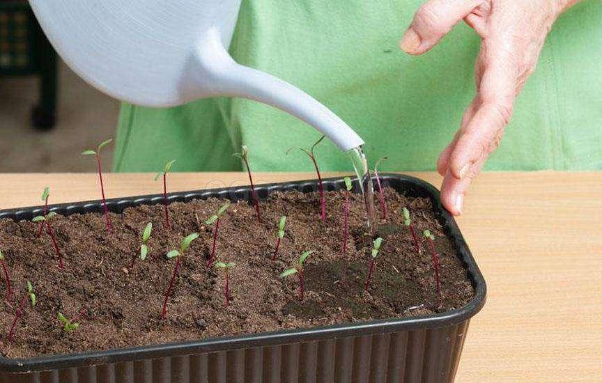 сажать рассаду свеклы