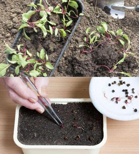 вырастить рассаду свеклы