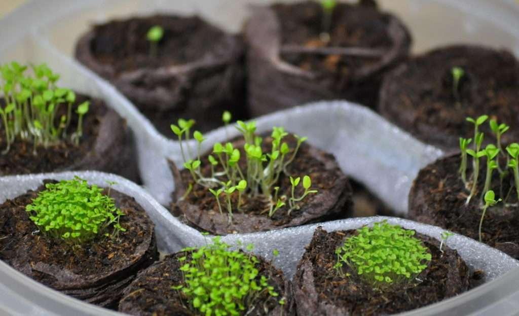 выращивание лобелии
