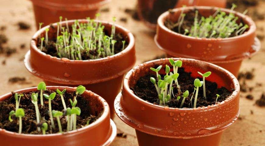 посев маттиолы