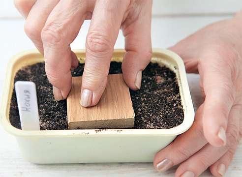 кохия выращивание рассады