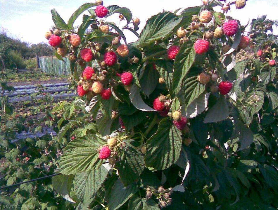 размножение малинового дерева
