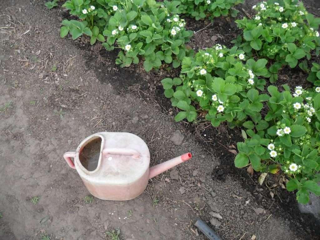 клубника весной уход обработка