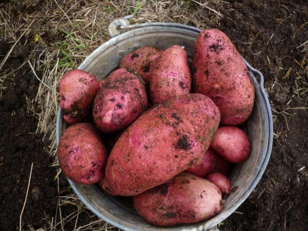 Как называется сорт красной картошки фото