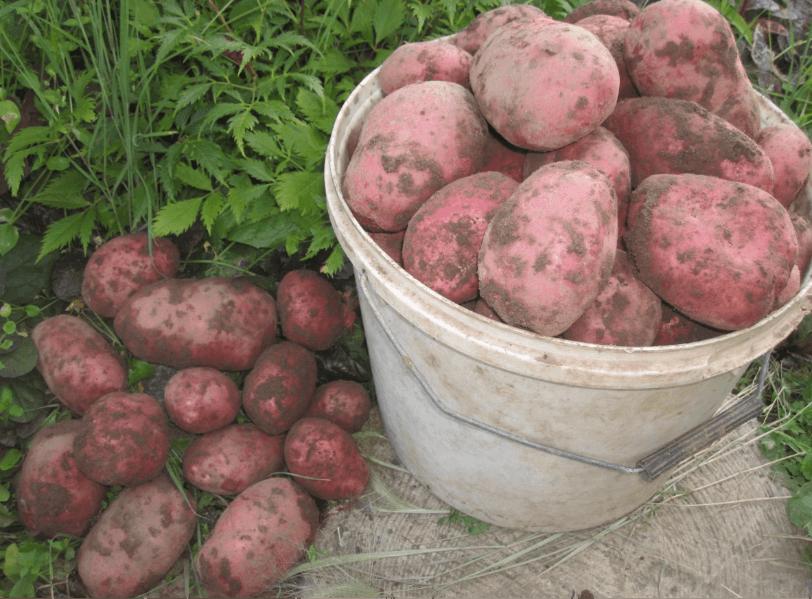 картофель красных сортов фото