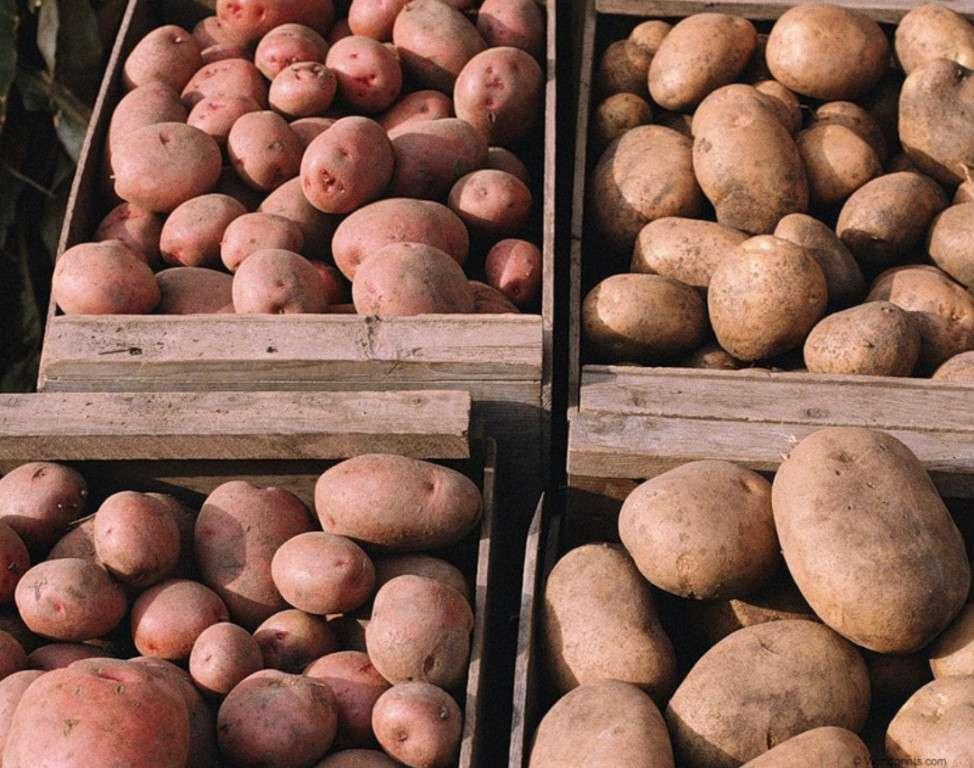 какой сорт картофеля лучше хранится зимой