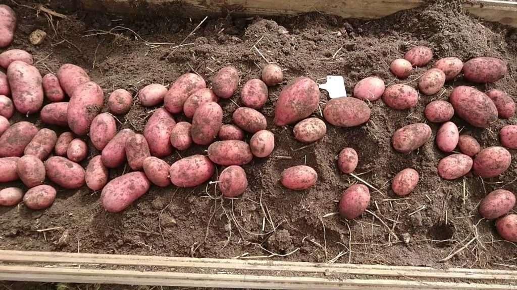 сорта картофеля беллароза фото и описание