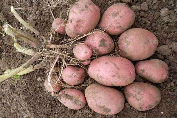 сорта картофеля хорошо хранящиеся зимой