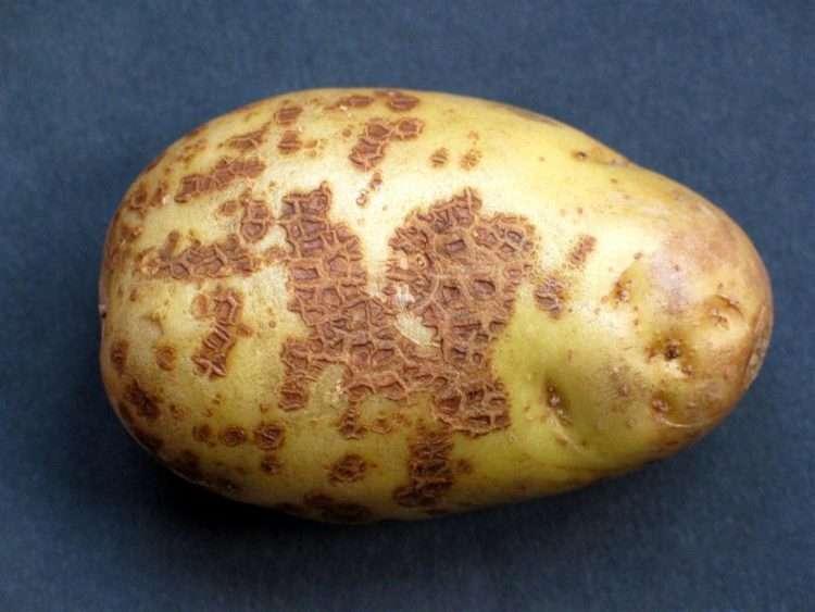 сорта картофеля устойчивые к болезням
