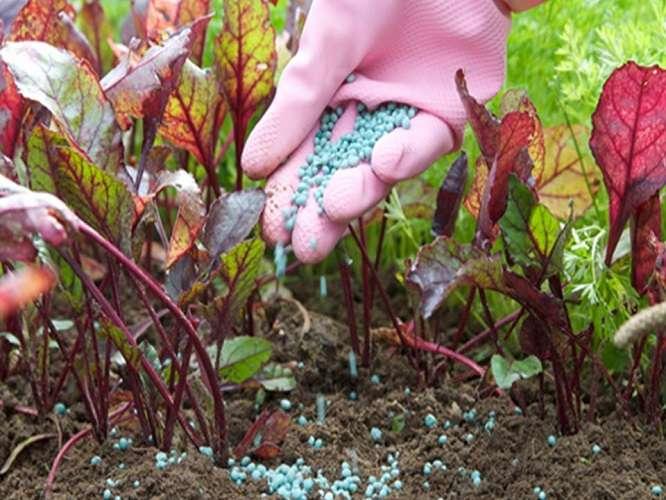 выращивание свеклы подкормка
