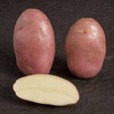 сорта картофеля устойчивые к фитофторозу