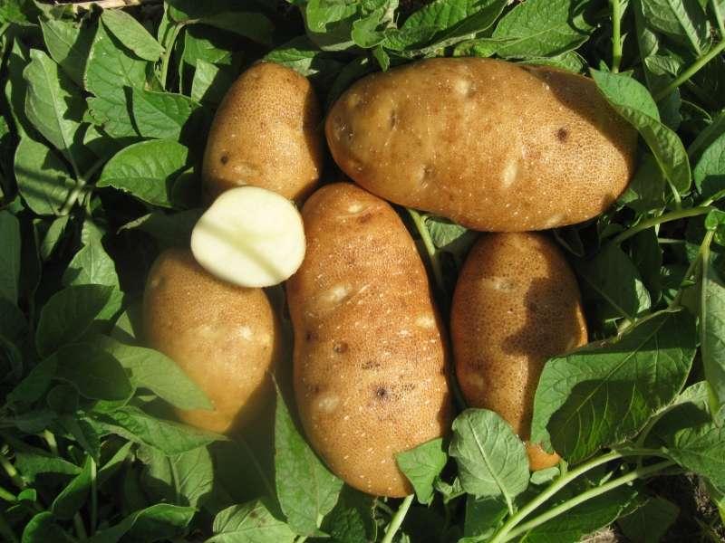 астерикс картофель характеристика