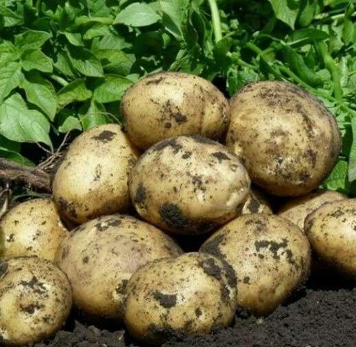 картофель великан фото