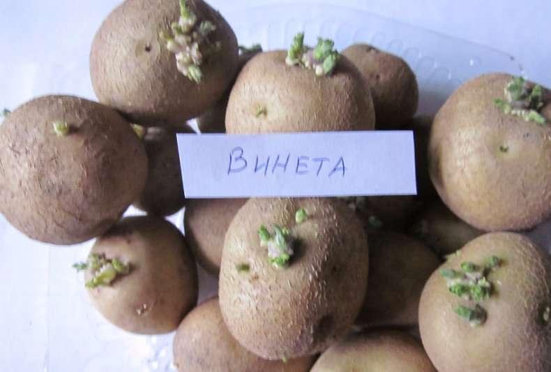 картофель венета характеристика сорта отзывы