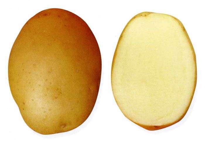 картофель великан характеристика сорта отзывы вкусовые качества