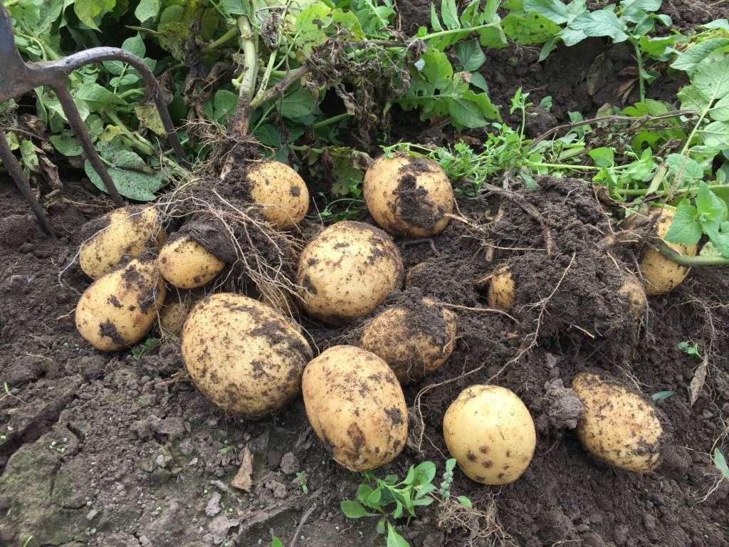 картофель адретта характеристика сорта отзывы вкусовые качества