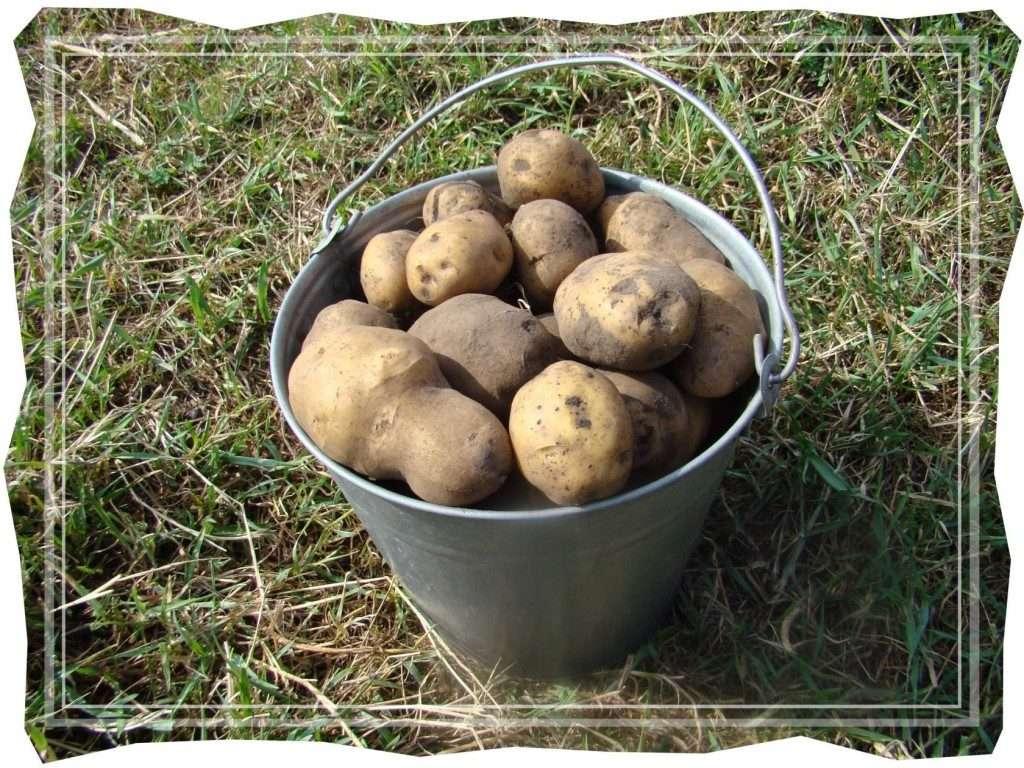 адретта картофель характеристика