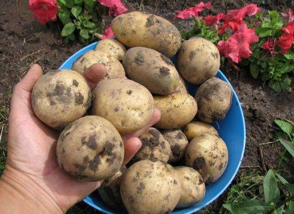 картофель сорта астерикс отзывы