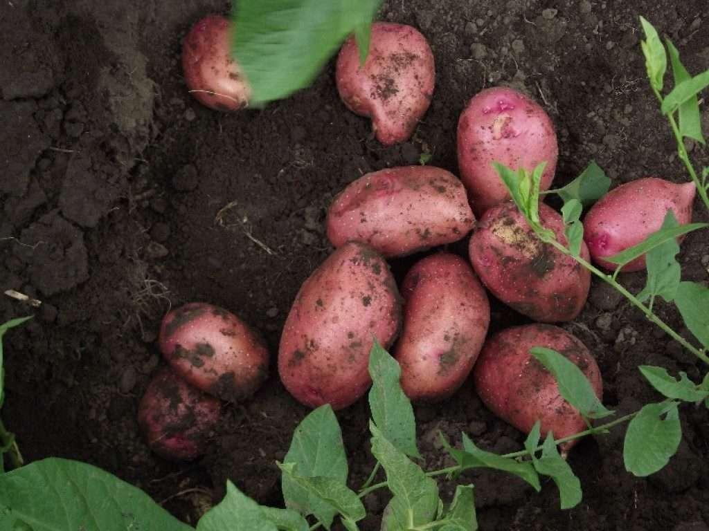 картофель астерикс описание сорта фото отзывы