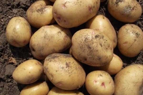 картофель великан описание сорта