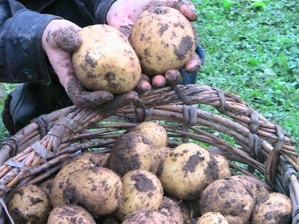 венета картофель характеристика