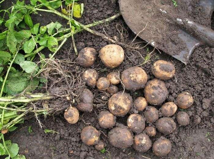 картофель киви описание сорта гмо или нет