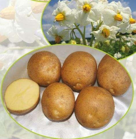 горняк картофель характеристика отзывы